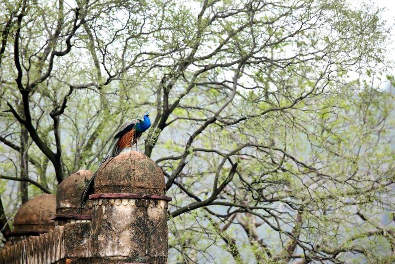 Een mooie pauwzitting op ruïnes van Rajbagh-fortruïnes stock fotografie