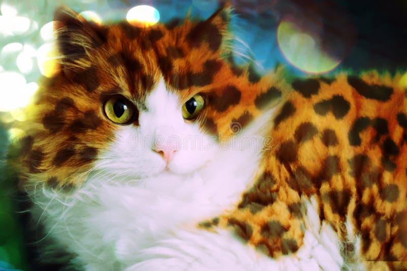 Een mooie pluizige Siberische kat in luipaardvlekken bekijkt de lens stock foto