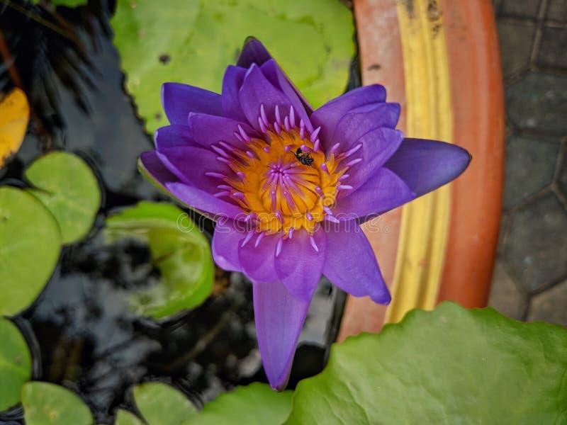 Een mooie purpere lotusbloembloem die over het water in lotusbloempot en een bij bloeien royalty-vrije stock fotografie