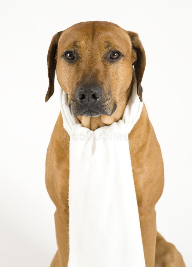 Hond met een koude stock foto's