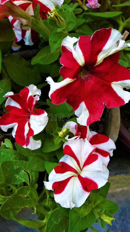 Een Mooie Roodachtige & Witte Kleurenbloem met groene bladeren royalty-vrije stock foto's
