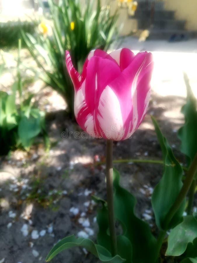 Een mooie roze bloem royalty-vrije stock afbeeldingen