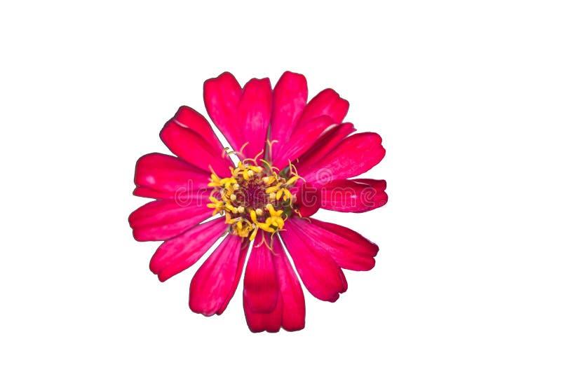 Een mooie roze bloem van zinnia geïsoleerd op witte achtergrond royalty-vrije stock foto