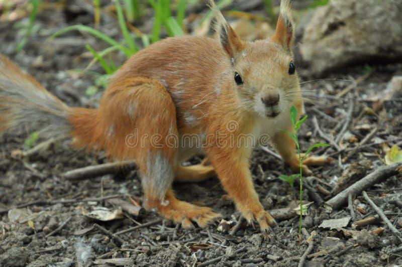 Een mooie ruiende eekhoorn stock foto