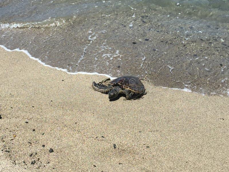 Een mooie schildpad die uit het water komen stock foto
