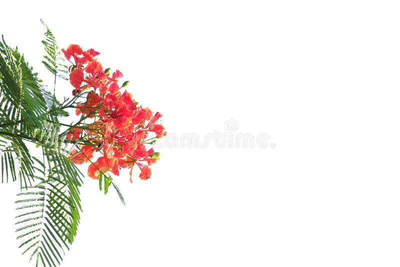 Een mooie tak van de oranje bloesem van de pauwbloem met groene bladeren op wit isoleerde achtergrond stock foto's