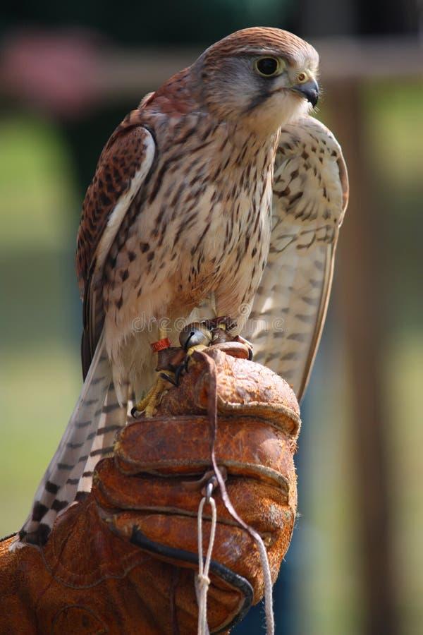 Een mooie torenvalkvogel die worden gehouden stock foto