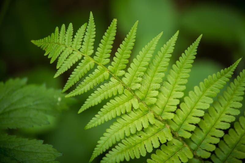 Een mooie trillende close-up van varenbladeren op een natuurlijke achtergrond in de zomer royalty-vrije stock fotografie