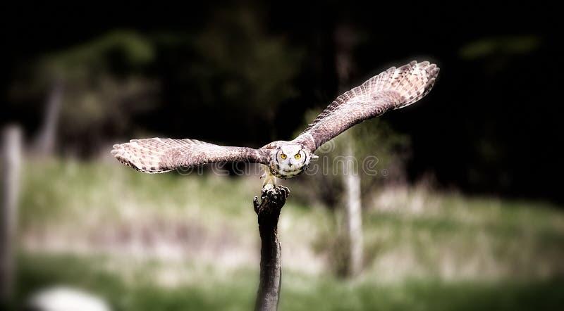 Een mooie vliegende grijze gehoornde uil stock foto