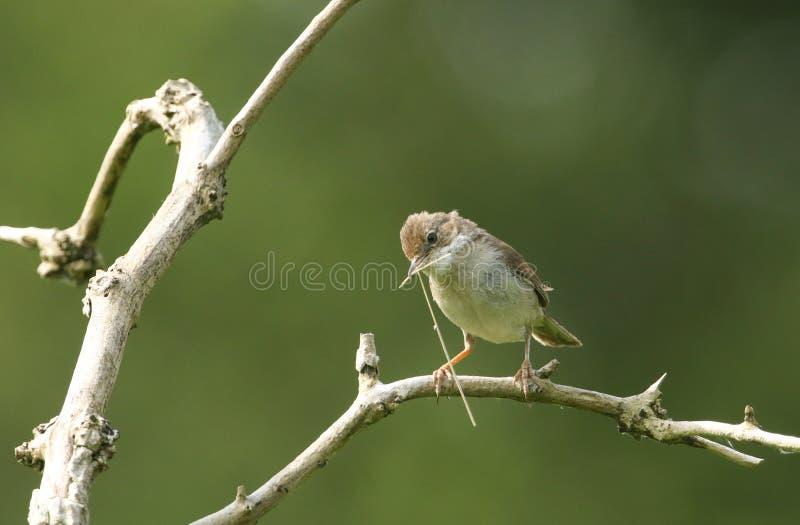 Een mooie Whitethroat, communis Sylvia die, op een tak in een boom met het nestelen materiaal in zijn bek neerstrijken stock afbeelding