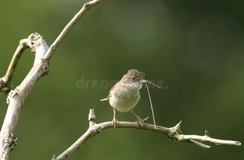 Een mooie Whitethroat, communis Sylvia die, op een tak in een boom met het nestelen materiaal in zijn bek neerstrijken stock foto
