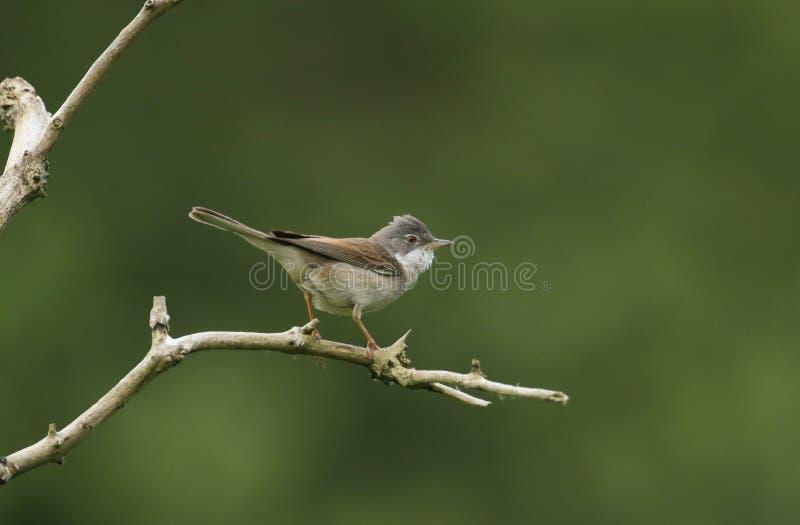 Een mooie Whitethroat, communis Sylvia die, op een tak in een boom neerstrijken stock foto's