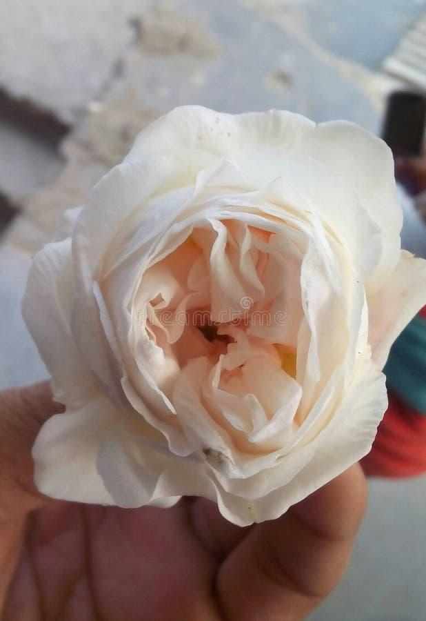 Een mooie witte roj slechts voor meisje stock afbeelding