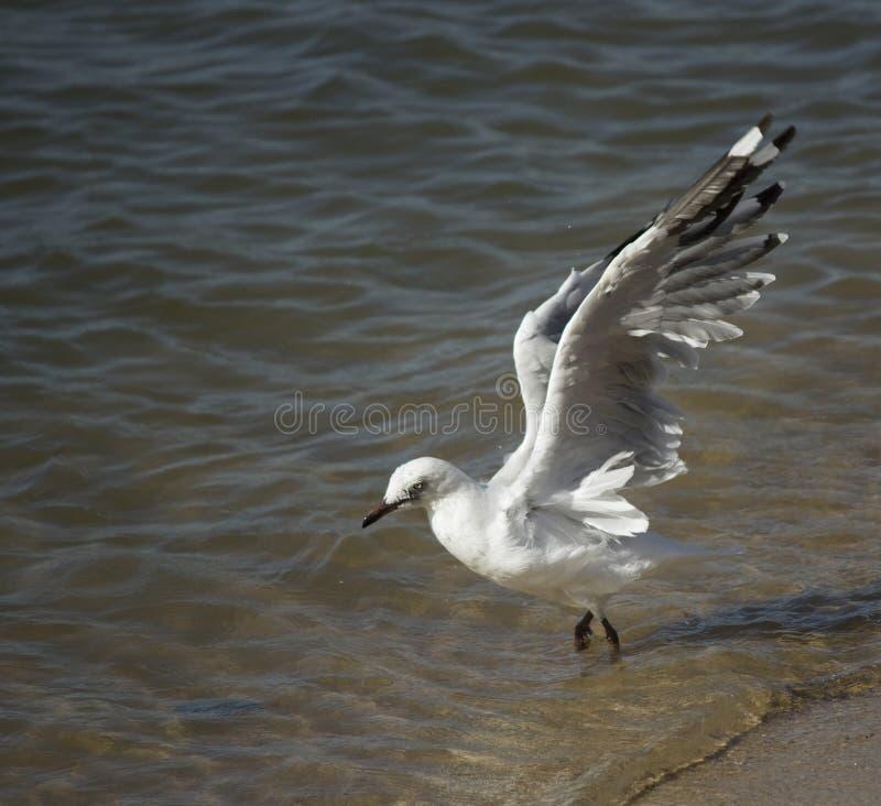 Een mooie witte Zeemeeuw landt in Estuarium op de zomermiddag stock foto's