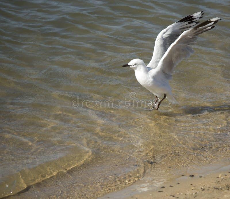 Een mooie witte Zeemeeuw landt in Estuarium op de zomermiddag stock fotografie