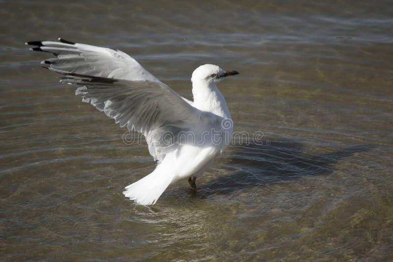 Een mooie witte Zeemeeuw landt in Estuarium op de zomermiddag stock afbeeldingen