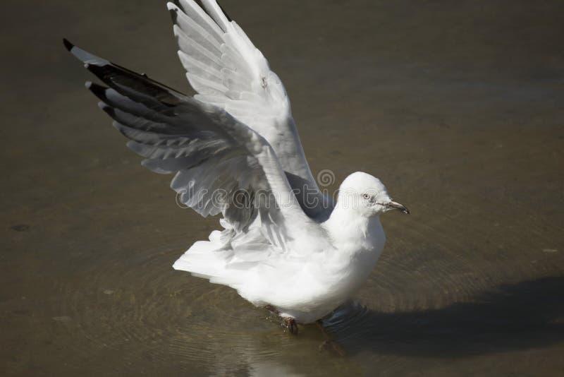 Een mooie witte Zeemeeuw landt in Estuarium op de zomermiddag royalty-vrije stock fotografie