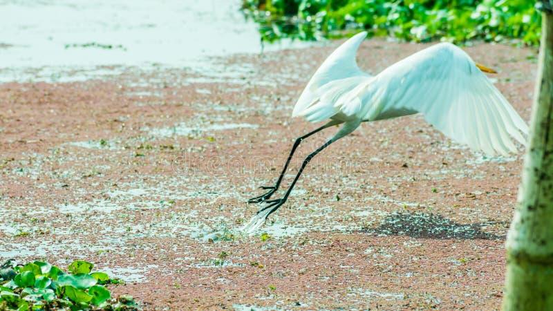 Een een Mooie witte Zwaan of Cygnus-vogel die over op het meergebied vliegen met drijvende aquatische installatie in het Vogelres royalty-vrije stock foto's