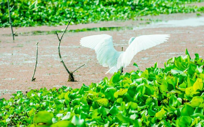 Een een Mooie witte Zwaan of Cygnus-vogel die zijn vleugels op het meergebied klappen met drijvende aquatische installatie in het stock afbeeldingen