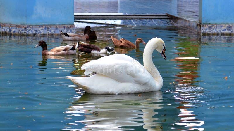 Een mooie witte zwaan zwemt in park stock afbeelding