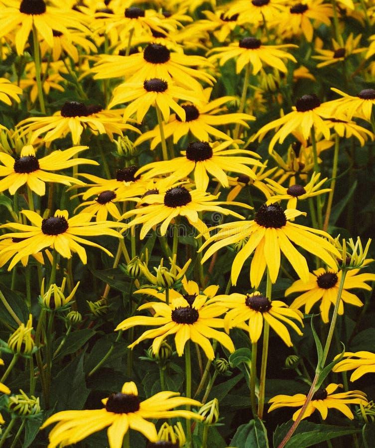 Een mooie zonnebloem stock fotografie