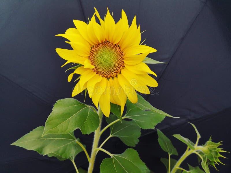 Een mooie zonnebloem royalty-vrije stock afbeeldingen