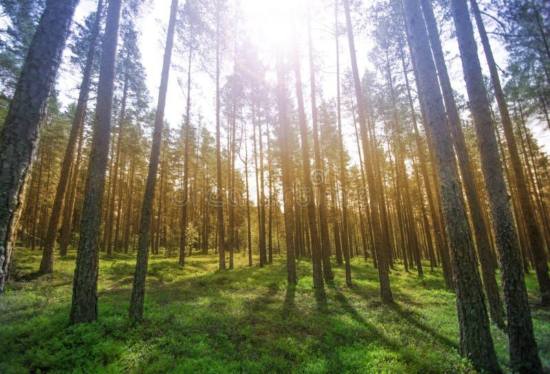 Een mooie zonnige bosachtergrond met gras royalty-vrije stock foto