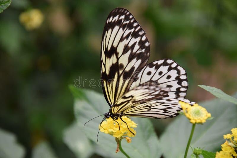 Een mooie zwart-witte vlinder op gele bloem stock foto