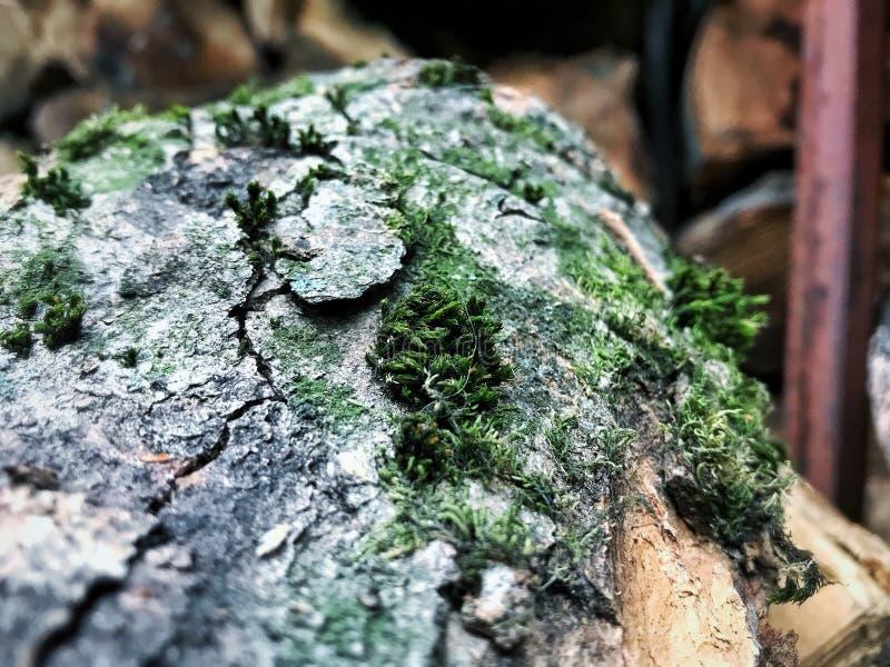 Een mos op het hout stock fotografie