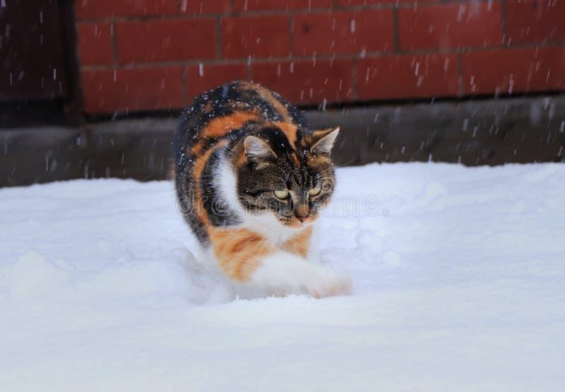 Een multicolored binnenlandse kat speelt met sneeuw Zij houdt van sneeuw Zij de jachtsneeuwvlokken en het harken van gaten op tui royalty-vrije stock fotografie