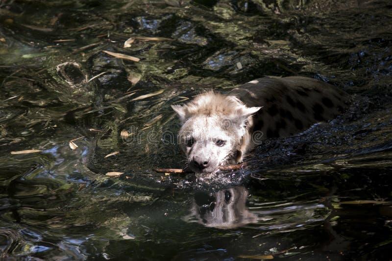 Een natte het lachen hyena stock foto's