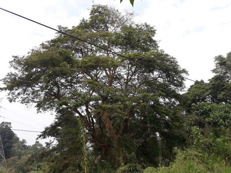 Een natuurlijke boom van Sri Lanka stock afbeelding