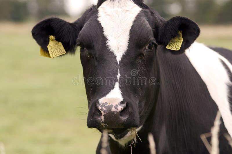 Een Nederlandse koe royalty-vrije stock foto's