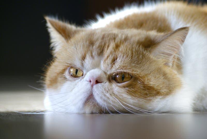 Een neus van de kat royalty-vrije stock afbeelding