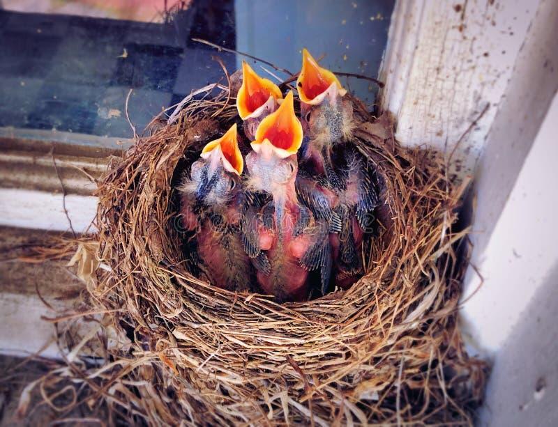 Een nieuw nest van Amerikaanse Robin - geboren babys open mond stock afbeelding