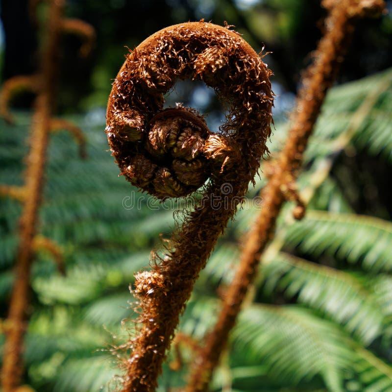 Een nieuwe fern frond, een kroon die net in een nieuw blad begint te verdwijnen, Nieuw-Zeeland stock foto