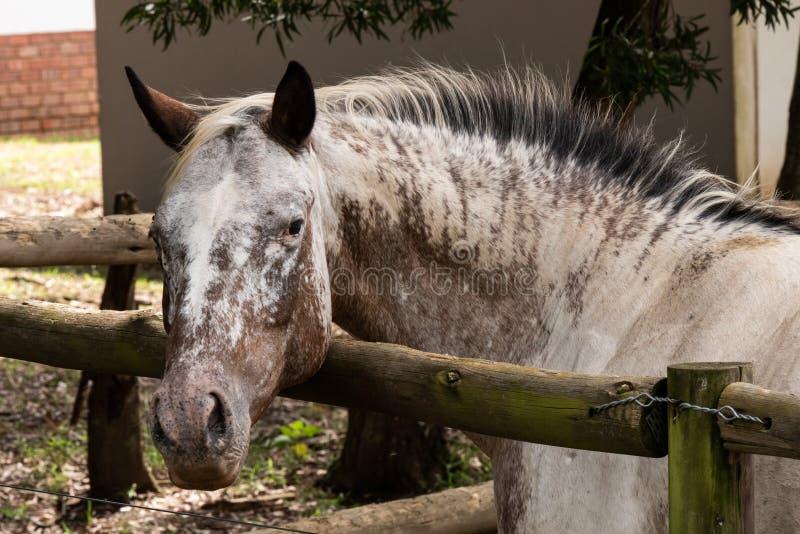 Een nieuwsgierig paard in een paddock stock afbeeldingen