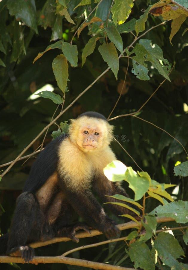 Een Nieuwsgierige maar Zekere Capuchin Aap streek op een Tak neer stock afbeeldingen