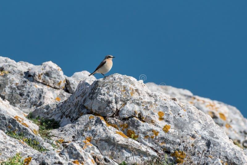 Een noordelijke wheatear zitting op rotsen dichtbij het overzees royalty-vrije stock foto