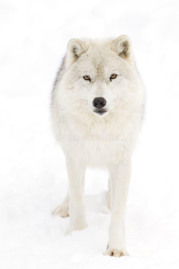 Een Noordpoolwolfszweerarctos die van wolfscanis in de de wintersneeuw lopen stock foto