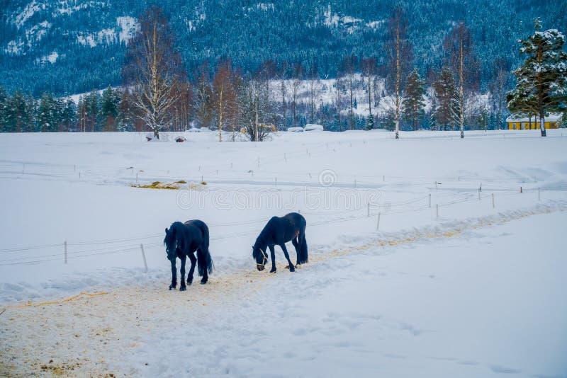 Een Noors Fjordpaard galoppeert in mooi de winterlandschap in Noorwegen stock foto