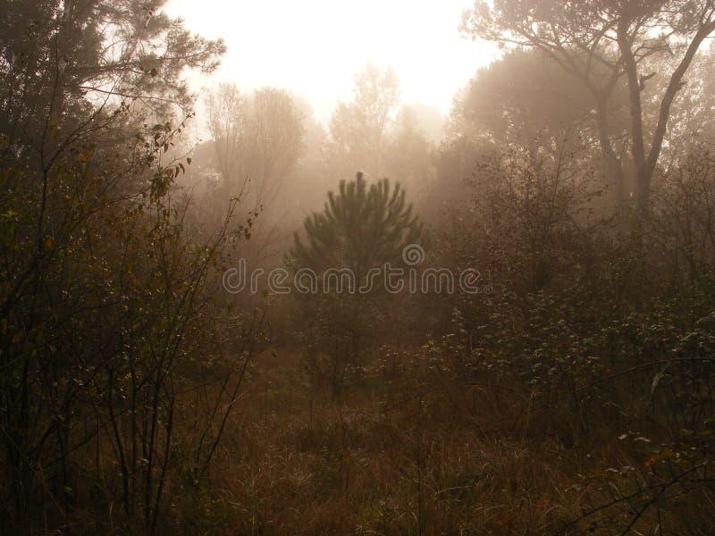 Een ochtend in dennenbos stock afbeelding