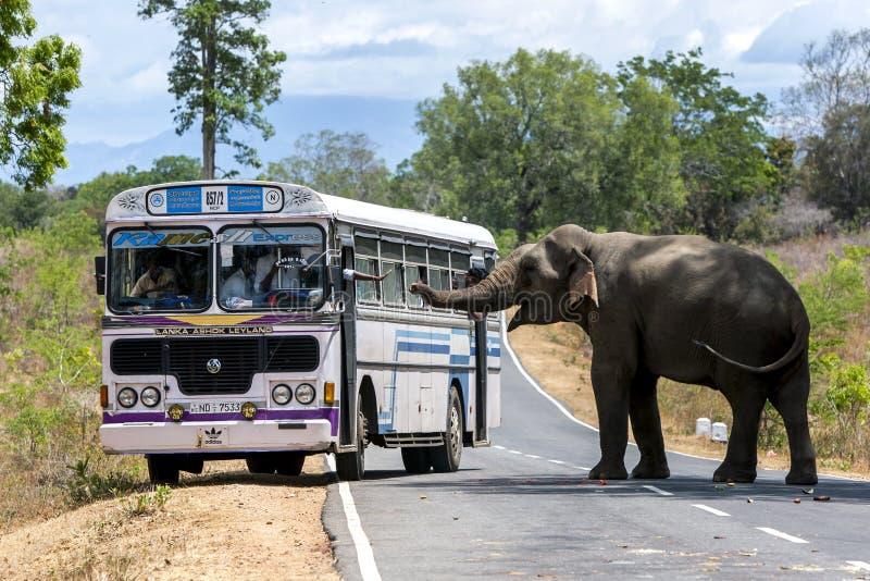 Een olifant, die op folders van voedsel van het overgaan van voertuigen wachten, blokkeert de weg dichtbij Kataragama in Sri Lank stock afbeeldingen