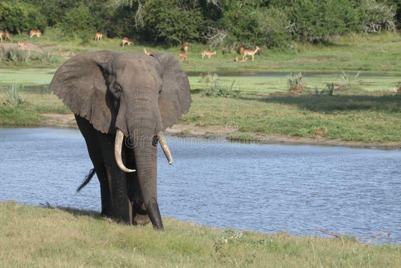 Een olifant die waterhole verlaten stock fotografie