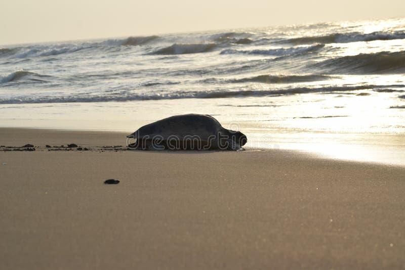 Een olijfriddle schildpad die naar oceaan voor zijn overleving op maandeind van April bij baai van Bengalen door:sturen stock foto's