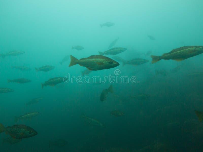 Een ondiepte van vissen, de Atlantische Oceaan, Ierland stock fotografie