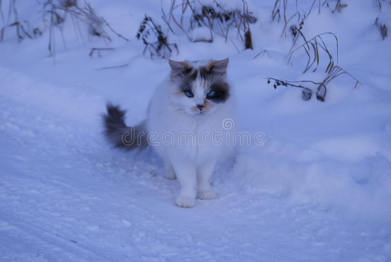 Een ongebruikelijke drie-gekleurde kat met blauwe ogen stock afbeelding