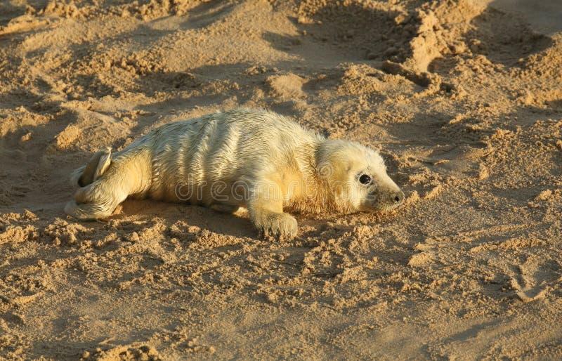Een onlangs geboren Grey Seal-grypus die van jonghalichoerus op het strand in Horsey, Norfolk, het UK liggen stock foto's