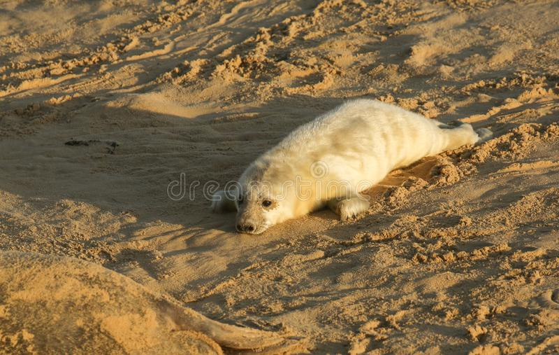 Een onlangs geboren Grey Seal-grypus die van jonghalichoerus op het strand in Horsey, Norfolk, het UK liggen royalty-vrije stock foto
