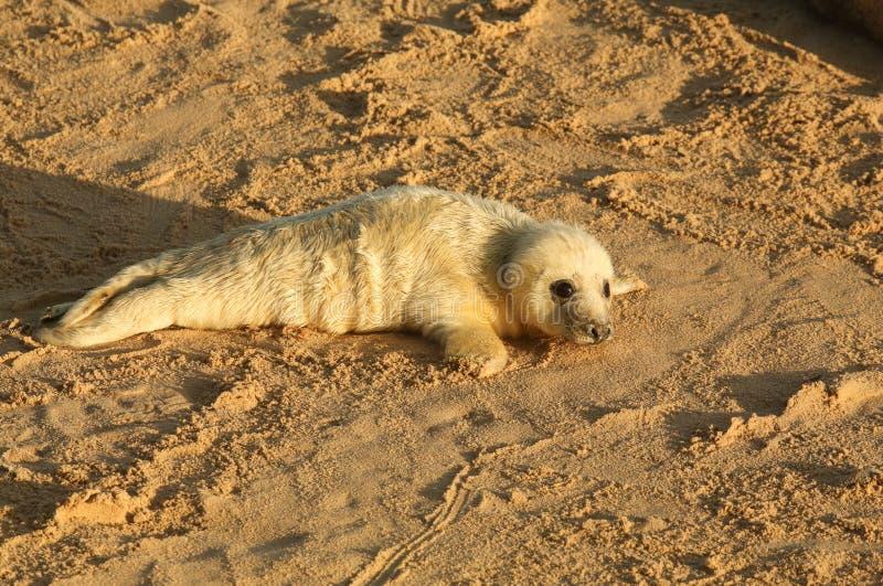 Een onlangs geboren Grey Seal-grypus die van jonghalichoerus op het strand op een zonnige dag in Horsey, Norfolk, het UK liggen stock afbeeldingen